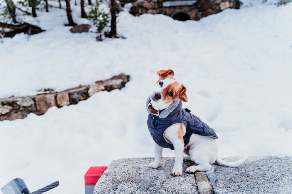 Do Jack Russells Get Cold?