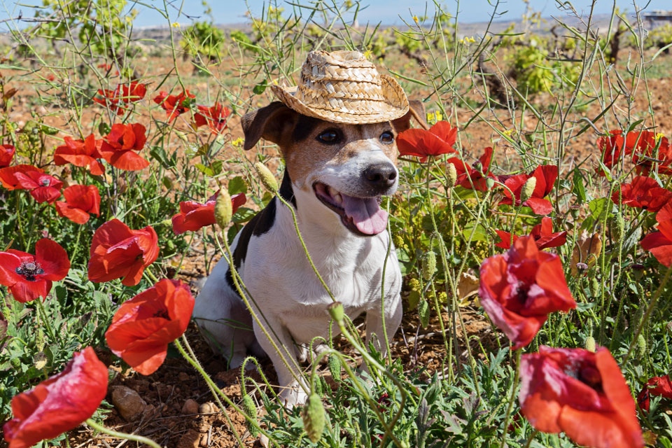 Are Jack Russells Good Farm Dogs?