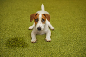 Why Does My Jack Russell Pee So Much?