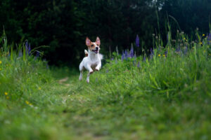 Why Do Jack Russells Run Away?