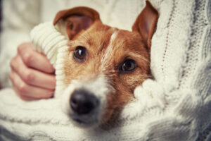 Are Jack Russells Good For Seniors?