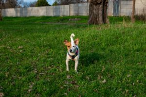 How Do You Keep A Jack Russell In Your Yard?